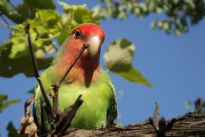 23 Jenis Burung Lovebird Tercantik di Dunia